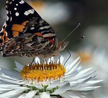 Monarch butterfly (Danus plexippus) by Gerrart