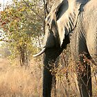 African Elephant 3 by Rob Chiarolli