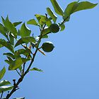 Premature lemon tree by iosifskoufos
