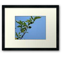 Premature lemon tree Framed Print