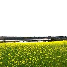 Canola Field and West River Bridge, Prince Edward Island by Nadine Staaf