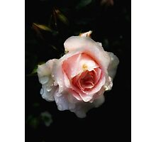 Pale pink patio rose  Photographic Print