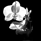 BLACK AND WHITE PHALAENOPSIS by joancaronil