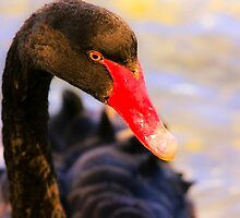 Black Swan at Sunset by Jill Fisher