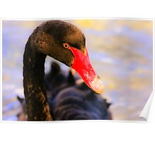 Black Swan at Sunset Poster