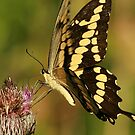 Giant Swallowtail by eaglewatcher4