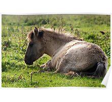 Born Wild & Free - Konik Foal Poster