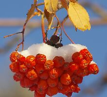 Mountain Ash Berries with Snow by Mowny