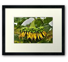 Virginia Sunflower Framed Print