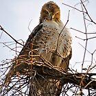 Hawk... by Karen  Helgesen