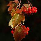 Hawthorne berries  by teresalynwillis