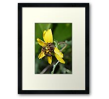 Chocolate Flower with a Honey Bee Visitor Framed Print