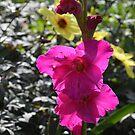 Magenta Gladiolus Flower by Paula Betz