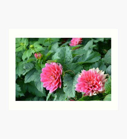 Bright Pink Dahlia Flowers Art Print