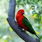 Curious King Parrot I by Josie Eldred