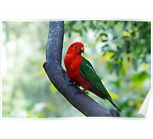 Curious King Parrot I Poster