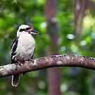 Hopeful Kookaburra by Josie Eldred