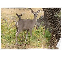 Coues White-tailed Deer ~ Madera Canyon Poster