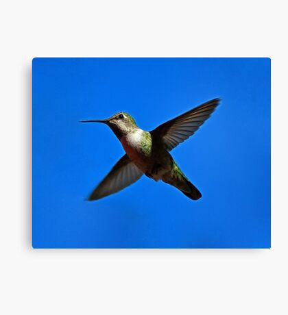Humming Bird in Flight Canvas Print