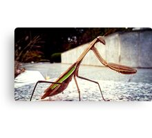 Korean Mantis Canvas Print