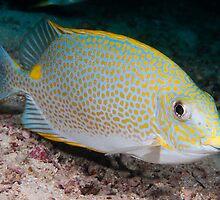 Golden Rabbitfish, Kapalai, Sabah, Malaysia by Erik Schlogl