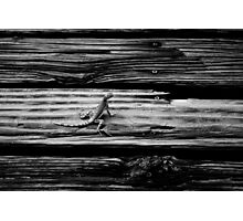 mojave fringe toed lizard Photographic Print
