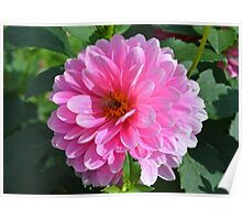 Bee on Pink Dahlia Poster