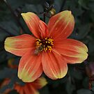Orange and Yellow Dahlia with Bee by Paula Betz