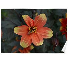Orange and Yellow Dahlia with Bee Poster