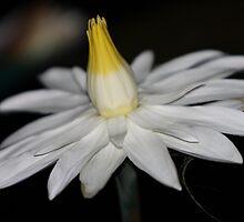 Lotus Var. Dentata Night Blooming Water Lily by Robert Armendariz