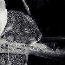 Koala Cuddles by Josie Eldred