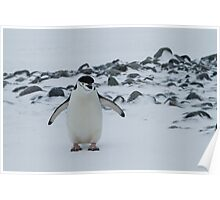 Chinstrap Penguin, Yankee Harbour, Antarctica Poster