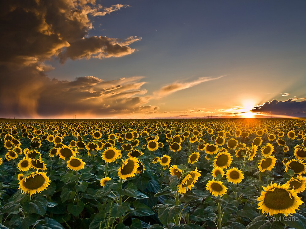 SunFlowers to the Setting Sun by Paul Gana