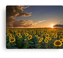 SunFlowers to the Setting Sun Canvas Print