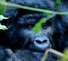 Young Gorilla by ebonyjaynephoto