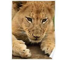Ready to Pounce Lion Cub Poster