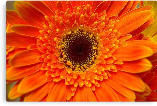Gerbera Flower by Andrejs Jaudzems