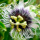 Passion Flower by Penny Smith