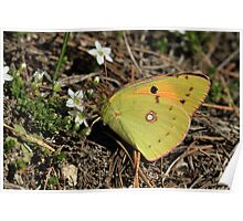 Balkan Clouded Yellow Butterfly on Mountain Flowers  (Bulgaria) Poster