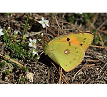 Balkan Clouded Yellow Butterfly on Mountain Flowers  (Bulgaria) Photographic Print