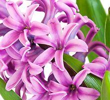 Hyacinth by mispix