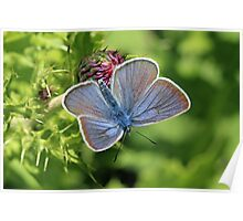 Mazarine Blue Butterfly nectaring on Thistle Flowers (Bulgaria) Poster