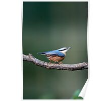 Nuthatch (Sitta europaea) Poster