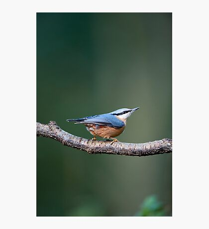 Nuthatch (Sitta europaea) Photographic Print