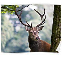 Red Deer (Cervus elaphus)   Poster