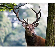 Red Deer (Cervus elaphus)   Photographic Print