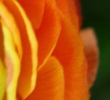 Petals by LynnEngland
