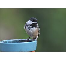 Chickadee perched on the edge of a flower pot Photographic Print
