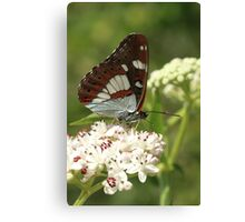 Southern White Admiral Butterfly on white flowers, Melnik (Bulgaria) Canvas Print