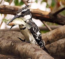 Pied Kingfisher with oversized bream by Paul Watkins